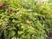 le bacche del lampone rosso appendono sui rami cespuglio di lampone della piantagione del lampone con la bacca fotografia stock