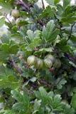 Le bacche dell'uva spina ammucchiano la crescita su un ramo di un cespuglio Fotografie Stock