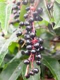Le bacche di sambuco nere mature fertili hanno bagnato il mazzo dell'albero della goccia di pioggia dell'acqua della rugiada fotografia stock libera da diritti