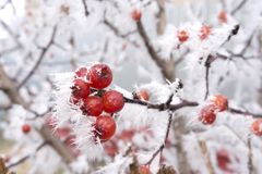 Le bacche gelide del cratego negli snowlakes si ramificano con neve Immagine Stock Libera da Diritti