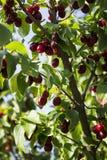 Le bacche mature del corniolo si sviluppano su un albero Raccolto, estate Le bacche rosse Immagini Stock