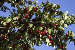 Le bacche mature del corniolo si sviluppano su un albero Raccolto, estate Le bacche rosse Immagine Stock
