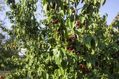 Le bacche mature del corniolo si sviluppano su un albero Raccolto, estate Le bacche rosse Fotografia Stock
