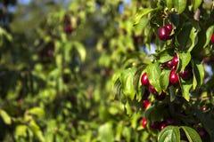 Le bacche mature del corniolo si sviluppano su un albero Raccolto, estate Le bacche rosse Immagine Stock Libera da Diritti