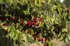 Le bacche mature del corniolo si sviluppano su un albero Raccolto, estate Le bacche rosse Fotografia Stock Libera da Diritti