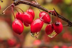 Le bacche rosse bagnate decorano la natura fotografia stock