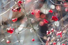 Le bacche rosse di Overriped ed i ramoscelli fragili di guelder sono aumentato (viburnu Fotografia Stock Libera da Diritti