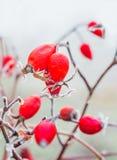 Le bacche rosse di selvaggio sono aumentato con la brina Fotografia Stock Libera da Diritti