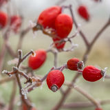 Le bacche rosse di selvaggio sono aumentato con la brina Fotografie Stock Libere da Diritti
