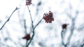 Le bacche rosse di viburno hanno spolverato con neve su un ramo Fotografia Stock