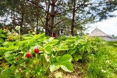 Le bacche rosse su un cespuglio verde alloggiano il fondo Immagine Stock Libera da Diritti
