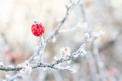Le bacche rosse sui rami congelati hanno coperto i wi Fotografie Stock Libere da Diritti
