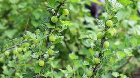 Le bacche verdi dell'uva spina si sviluppano sul ramo ed ondeggiano nel vento stock footage