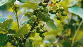 Le bacche verdi dell'uva spina si sviluppano sul ramo ed ondeggiano nel vento archivi video