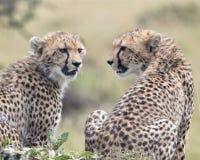 Le backview de plan rapproché du guépard deux se reposant sur une herbe a couvert le monticule de têtes tournées vers l'un l'autr Photos libres de droits