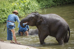Le bain de Mahouts et nettoient les éléphants en rivière Image stock