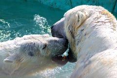 Le baiser de l'ours blanc Image stock