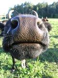 Le baiser de la vache image stock
