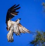Le balbuzard avec la diffusion d'ailes, recherchant, des serres s'ouvrent images libres de droits