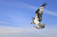 Le balbuzard avec le vol avec lui est crochet d'un truite arc-en-ciel Images libres de droits