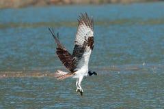 Le balbuzard pêche un poisson du lac et le saisit dans des ses serres photographie stock libre de droits