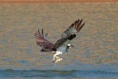 Le balbuzard pêche un poisson et le saisit dans des ses serres photos libres de droits