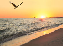 Le balbuzard vole au-dessus de la plage pendant que Sun place à la plage Photo stock