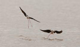 Le ballet de l'échasse Noir-à ailes Image libre de droits