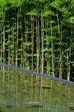 Le bambou avec se reflètent dans l'eau Photo libre de droits