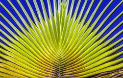 Le bananier part du dièse et de la couleur Images libres de droits