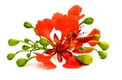 Le Barbados si vantano, fiore di pavone, su fondo bianco immagine stock
