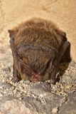 Le barbastellus de Barbastella de batte de barbastelle, hibernation occidentale de barbastelle Photo stock