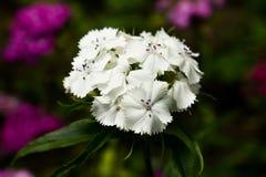 Le barbatus d'oeillet, William doux, [2] est des espèces d'usine de floraison dans la famille d'oeillet, l'indigène en Europe du  images libres de droits