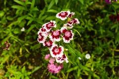 Le barbatus d'oeillet, William doux, [2] est des espèces d'usine de floraison dans la famille d'oeillet, l'indigène en Europe du  image stock