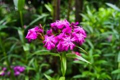 Le barbatus d'oeillet, William doux, [2] est des espèces d'usine de floraison dans la famille d'oeillet, l'indigène en Europe du  photos stock