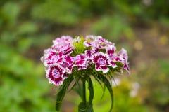 Le barbatus d'oeillet, William doux, [2] est des espèces d'usine de floraison dans la famille d'oeillet, l'indigène en Europe du  photos libres de droits