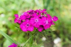 Le barbatus d'oeillet, William doux, [2] est des espèces d'usine de floraison dans la famille d'oeillet, l'indigène en Europe du  photo stock