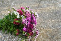 Le barbatus d'oeillet, William doux, [2] est des espèces d'usine de floraison dans la famille d'oeillet, l'indigène en Europe du  photographie stock