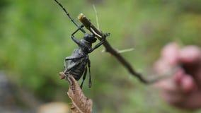 Le barbeau de scarabée Un insecte avec de longues antennes sur une brindille sèche Macro photo stock