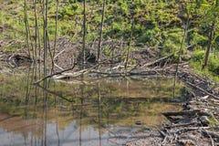 Le barrage de castor sur The Creek dans la forêt de peu carpathien photo stock