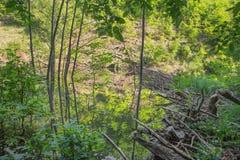 Le barrage de castor sur The Creek dans la forêt de peu carpathien photo libre de droits