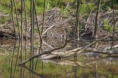 Le barrage de castor sur The Creek dans la forêt de peu carpathien photographie stock