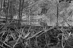 Le barrage de castor sur The Creek dans la forêt de peu carpathien photos libres de droits