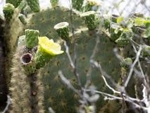 Le barringtonensis de floraison d'echios d'opuntia est Galapagos endémique, Santa Cruz, Galapagos, Equateur Image stock