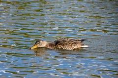 Le bas femelle de natation de canard de canard à travers un lac en été photographie stock