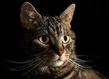 Le basette dei gatti Fotografie Stock Libere da Diritti