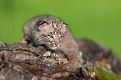 Le bébé Bobcat Kit (rufus de Lynx) regarde fixement du rondin Images libres de droits