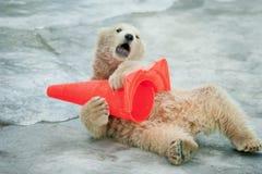 Le bébé d'ours blanc joue avec le cône en plastique dans le zoo Photographie stock libre de droits