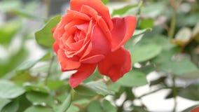 Le beau balancement rose rouge en vent, pleine fleur, se ferment vers le haut de la vue, film de mouvement lent banque de vidéos