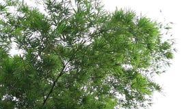 Le beau bambou laisse mobile et venteux à travers le balancement qui couleur verte dans la forêt de nature banque de vidéos